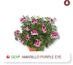 Crispum Amarillo Purple Eye