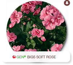 Big5 Soft Rose