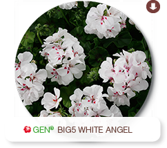 Big5 White Angel