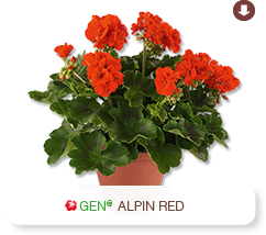 Pelargonium Interspezifisch Classic Alpin Red