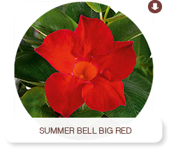 Summer Bell Big Red
