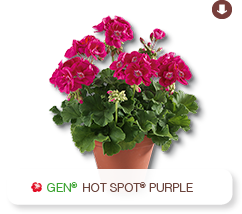Pelargonium Zonale Hot Spot Purple