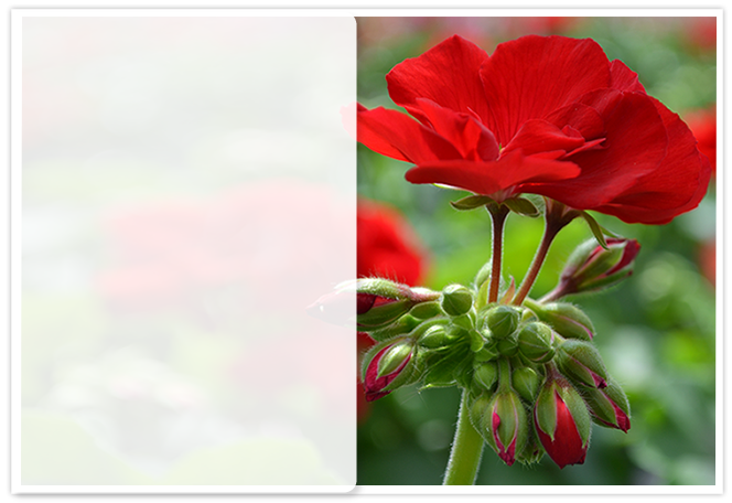 Pelargonien Hybrid Interspezifisch Sugar Baby